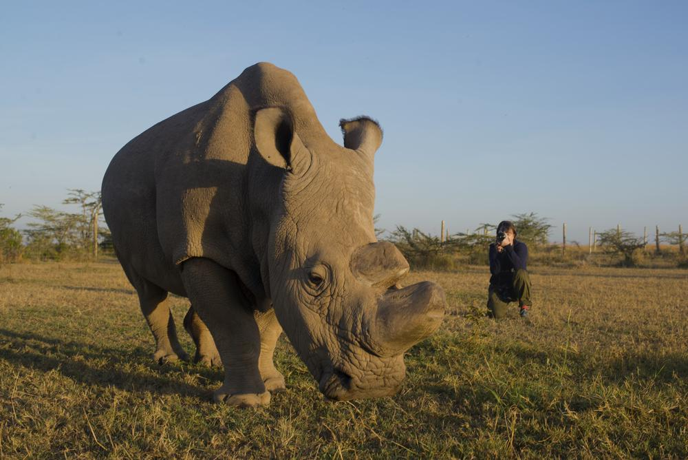 rhino in the foreground to the left and person squating while taking a picture in the background to the right